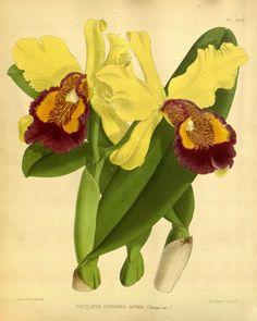 Cattleya dowiana aurea. Orchid album 1891.  London :B. S. Williams,1882-97.  Biodiversitylibrary. Biodivlibrary. BHL. Biodiversity Heritage Library