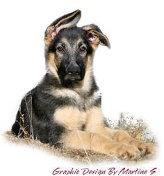 Puppies available now at Woodside German Shepherds.........call Sandy 800-249-3933
