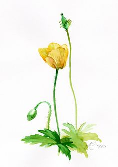 Flower painting Yellow Papaver Fine Art by VerbruggeWatercolor, $18.00