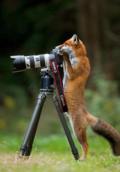 Red Fox (Vulpes vulpes) investigating a camera and tripod; taking a photograph. Black Forest, Germany, September.