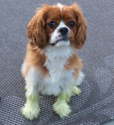 Our Cavalier King Charles Spaniel, Mabel, after running through freshly cut grass. Check out her green feet!