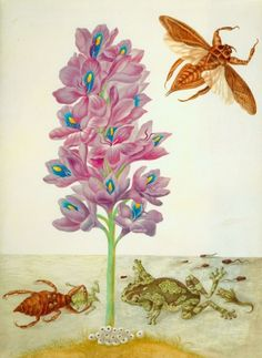 Water hyacinth, marbled or veined tree-frogs with tadpoles and frog-spawn, and giant water-bugs painting by Maria Sibylla Merian (1647-1717)  Welcome to my gardening blog http://www.facebook.com/flowerindoorgardening