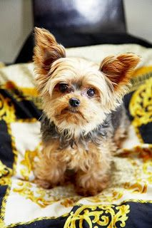 Most Popular Yorkshire Terrier Names Click the picture to read