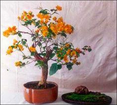 As buganvílias produzem flores coloridas da primavera ao outono. Essas plantas realçam muitos jardins e paredes. Se você estiver interessado...