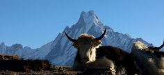 A mountain with the Himalayan Yak