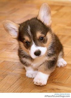 Corgi puppy - I WANT.