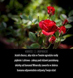 Jeżeli chcesz, aby róże w Twoim ogrodzie rosły pięknie i zdrowo – zakop pod różami posiekaną skórkę od banana! Minerały ... Garden Plants, Cleaning Hacks, Flora, Diy, Inspiration, Gardening, Decor, Roses, Flowers