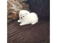 The traits we all respect about the Cute Pomeranian Puppies Find Out More On Fun Pomeranians Teacup Pomeranian Puppy, Spitz Pomeranian, Puppy Husky, Teacup Puppies, Small Pomeranian, Pomeranians, Fluffy Puppies, Cute Puppies, Cute Dogs