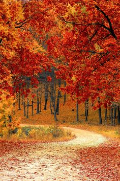 Red Leaf Trees Near the Road, fall landscape, red, orange, yellow leaves, path winding through the forest