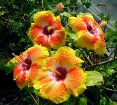 Acapulco Gold Hibiscus
