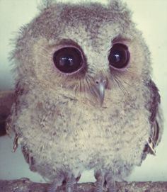 baby owl, precious...what big eyes you have:) what a cutie you are!