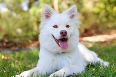 Dog Training Techniques step-by-step dog training guide will get you started. Dog Obedience Training Dog Training Commands Dogs Training Tips Dog Coughing, Dog Ear Cleaner, Amstaff Puppy, Pregnant Dog, Training Your Dog, Husky, Beautiful Dogs, Dog Owners, Best Dogs