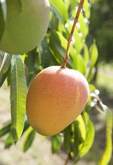 Wow, Did you know that Alton Downs is home to a variety of mango called the Honey Gold? It was cultivated naturally right here on our door step.