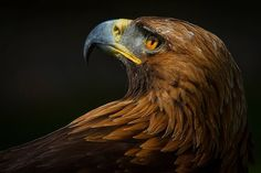 32 Eye-Popping Images of Our Feathered Friends- Doing What They Do Best. Mission Images, Wedge Tailed Eagle, Native American Horses, Peregrine Falcon, Bravest Warriors, Golden Eagle, Iphone Background Wallpaper, Birds Of Prey, Bird Art