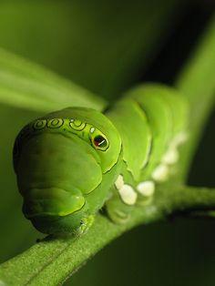 Fabulous Caterpillar by Leopard Gecko