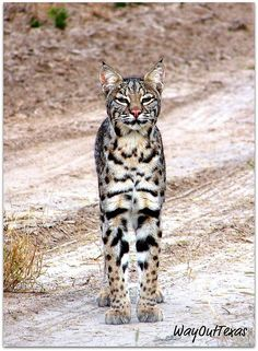 "Former Pinner said ""Texas Bobcat, Majestic & Proud, Like All of Us in Texas"". I am still amazed that I share my land with these. To see one on my front porch was quite the shock."