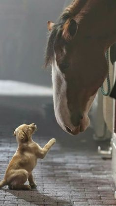 Horses - Puppy and Clydesdale horse, from the Budweiser beer ad, 'Puppy Love' Horses And Dogs, Cute Horses, Pretty Horses, Horse Love, Beautiful Horses, Animals Beautiful, Big Horses, Black Horses, Beautiful Beautiful