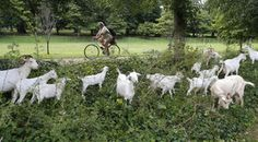 Goatvet loves the name of this weed clearing business - Goat Busters