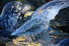 This seal created an amazing effect slapping the water. National Geographic Photos, Your Shot, Amazing Photography, Whale, Shots, Animals, Water, Whales, Animales