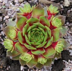 Photo of Hen and Chicks (Sempervivum 'Atroviolaceum Heimlich uploaded by valleylynn Growing Succulents, Succulents In Containers, Cacti And Succulents, Planting Succulents, Planting Flowers, Sempervivum, Echeveria, Cool Plants, Air Plants