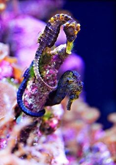seahorses - I'm constantly amazed at their ability to hide. My delight in my old age is that once I held a little one in my hand. Amazing.