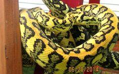 Jungle x Jaguar Carpet Python