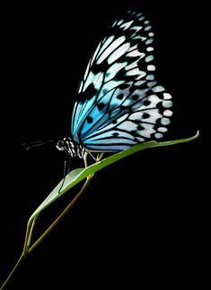 ~~Blue Butterfly by D Petzold Photography~~