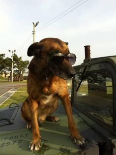 Military Working Dog  Rico  patrolling the beat.