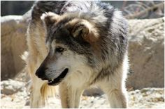 mexican wolf living desert zoo