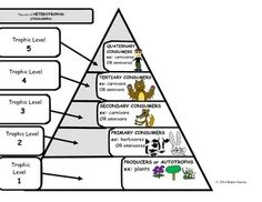 An example of an energy pyramid in the tropic levels