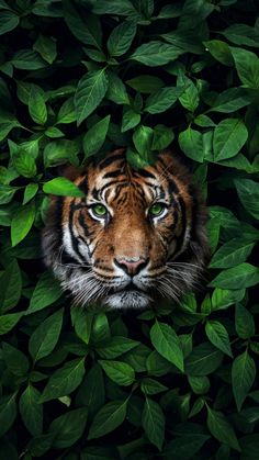 Green Eyes Tiger IPhone Wallpaper - IPhone Wallpapers