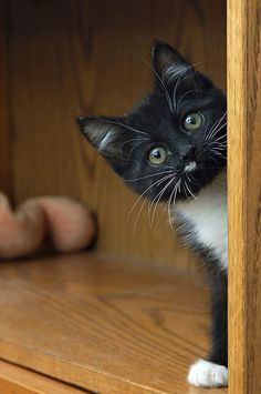 Kitty, nosy, kitten, nysgerrig. ''Hi there, is dinner ready yet ?'', nuttet, cute, adorable fluffy, sød, photo.