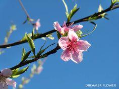 Fiore di Pesco #pesco #fiori