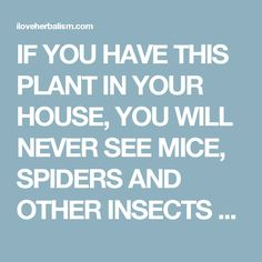 IF YOU HAVE THIS PLANT IN YOUR HOUSE, YOU WILL NEVER SEE MICE, SPIDERS AND OTHER INSECTS AGAIN! - I Love Herbalism