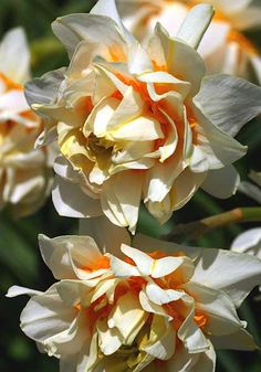 "Old House Gardens Heirloom Bulbs ""Orange Phoenix"" Daffodil"