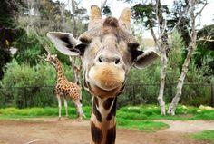 giraffes cute and fuunny lookin'
