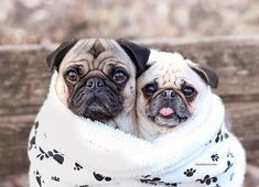 Snug as two pugs in a rug! Photo by @goldiandsimba Want to be featured on our Instagram? Tag your photos with #thepugdiary for your chance to be featured.