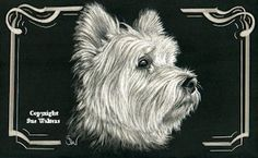 Westie - West Highland Terrier. Copyright Sue Walters
