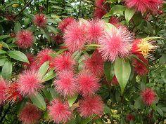 AStifftia é ideal para quem busca atrair beija flor e borboletas ao jardim. As estíftias apresentam grandes e coloridas inflorescên...