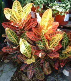 Learn what causes a croton plant to drop its leaves and how to fix it. Top croton plant care tips to keep your Codiaeum variegatum looking stunning. Palm Plant, Trees To Plant, Plant Leaves, Croton Plant Care, Petra, Myrtle Tree, Smart Garden, Palmiers, Garden Guide