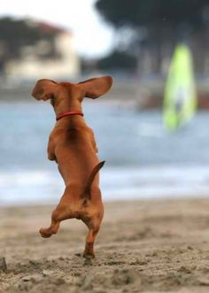 {oh, happy day!} doesn't it look like this little doxie is about to click his heels together? :D