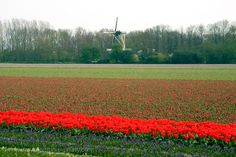 Netherlands Countryside | Pictures of the Netherlands - the Countryside - tulip fields and ...