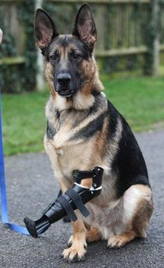 A three-legged Rescue German Shepherd Dog Shadow. has been given a revolutionary new prosthetic paw after its fore leg was almost torn off in a trap