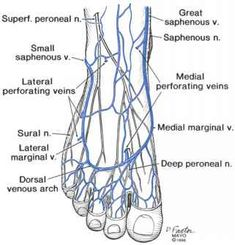 dorsal metatarsal vein n. Any of the veins that arise from the dorsal digital veins forming the dors
