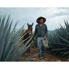 Although trucks are commonly used to gather piñas (the hearts of the agave plant extracted from the ground), donkeys are still preferred in rugged landscapes. Tequila, Jalisco, Mexico