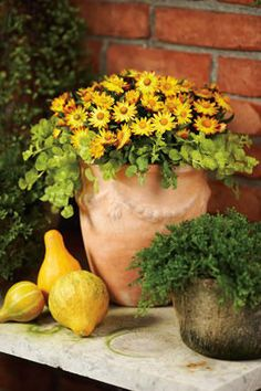 """""""Harvest Gold"""" Container Recipe:  Strawflower Bracteantha, Creeping Jenny Lysimachia. Color that lasts into fall; Strawflower blooms can be harvested and dried."""