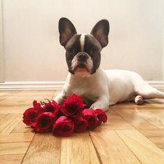 Happy Valentine's Day! Make sure to stop and smell the roses  #HappyValentinesDay#redroses#frenchbulldog#frenchiesofinstagram#frenchbulldogsofinstagram#thefrenchiepost#instafrenchie#puppiesforall#dogsofnyc#dogsofinstagram#nycdogs#instadog#frenchie#frenchielife#frenchiesociety#frenchbullys#thedf#squishyfacecrew#flatnosedogsociety#lacyandpaws#loveabully#mannyandfriends#ig_bullys#frenchieoverload#frenchielove_feature#bullylife#frenchies#frenchiegram#squishyface#dailyfrenchie by…