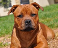 Staffy Bull Terrier, Staffy Dog, English Staffordshire Terrier, Doggies, Dogs And Puppies, Nice Dogs, Pitbull Boxer, Cane Corso Dog, Bullies