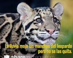 La lluvia moja las manchas del leopardo  pero no se las quita.