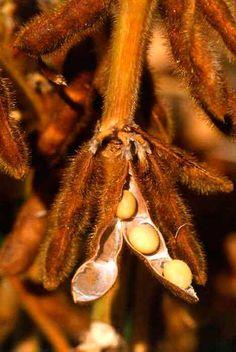 La soja se utiliza para reducir el colesterol, problemas hormonales en la menopausia, dietas de adelgazamiento y desintoxicación.